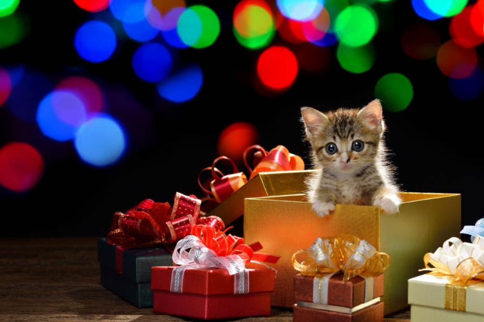 So schön solch ein Kätzchen als Präsent an Weihnachten auch sein kann, jeder geht mit einem Tier eine Verantwortung und Verpflichtung ein. (Symbolbild)