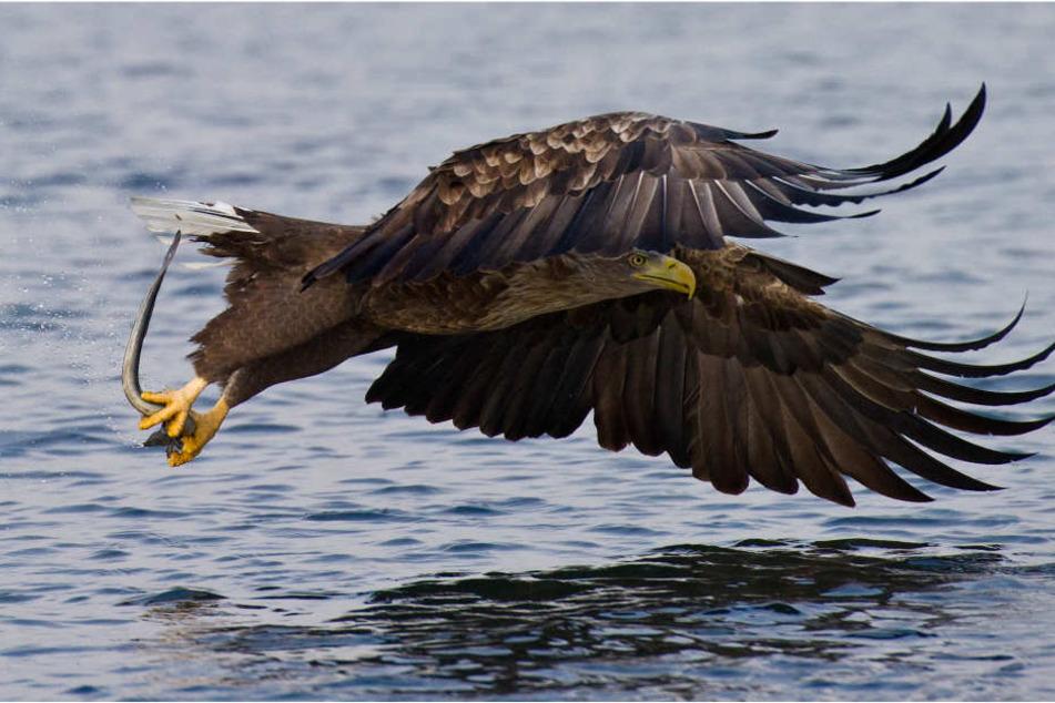Von Fischen und Wasservögeln ernähren Seeadler sich in erster Linie.