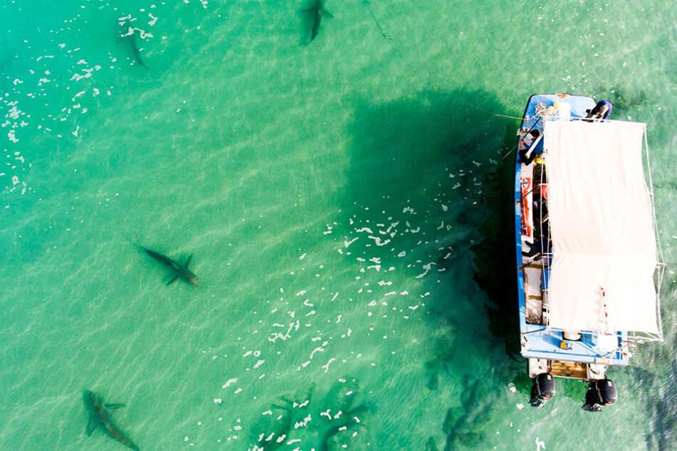 Mehrere Haie schwimmen vor Israels Mittelmeerküste neben einem Boot der Forscher von der Universität Haifa.