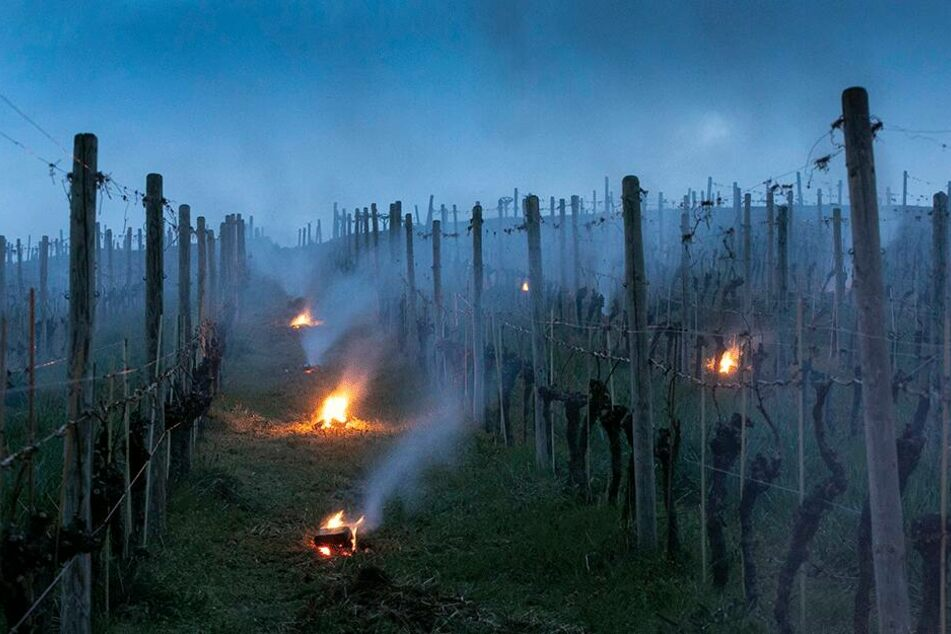 """Das Weingut Schuh hat kleine Feuer in der Steillage """"Meißner Klausenberg"""" entzündet."""