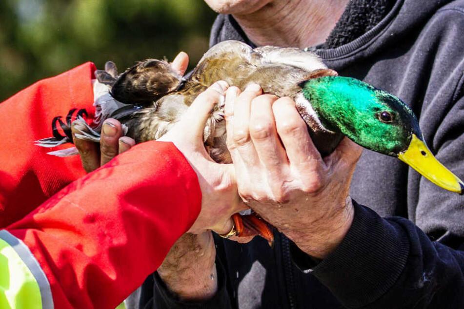 Die Ente war sicherlich geschockt, doch ginge es ihr den Umständen entsprechend gut.