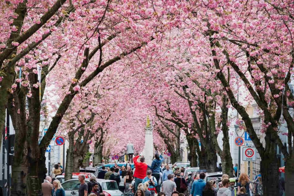 Berühmte Kirschblüte in Bonn: Noch etwas Geduld!