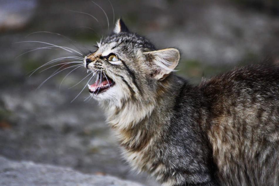 Die Katzenkastration ist in Köln bald Pflicht!