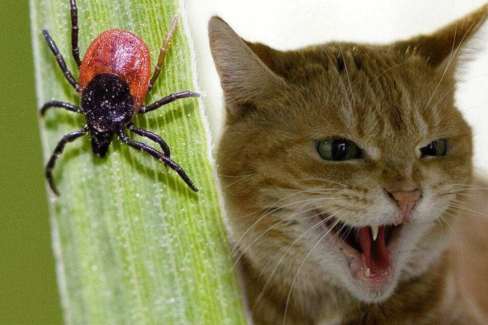 Erst biss die Zecke die Katze, dann die Katze die Frau (Symbolbilder).