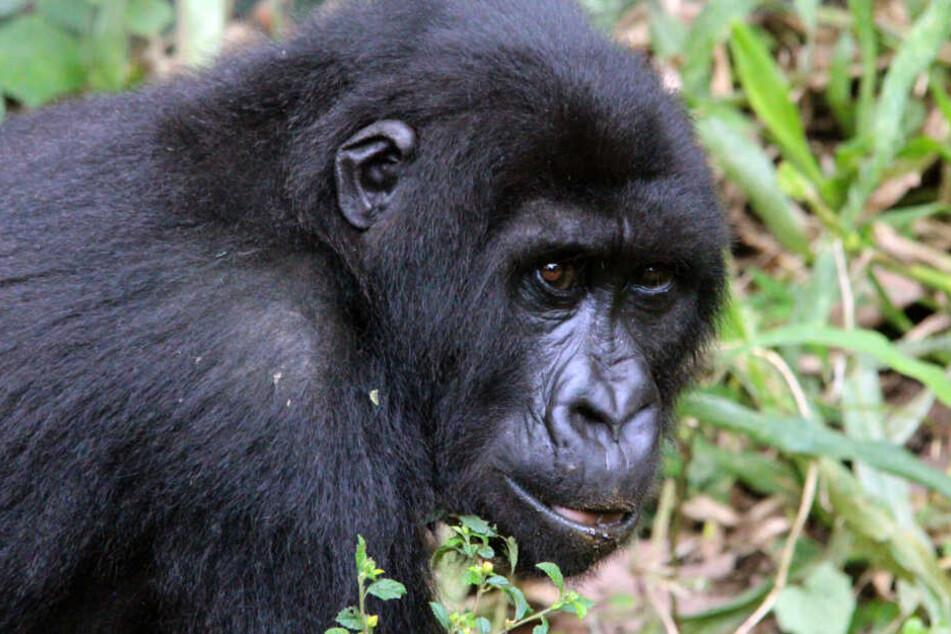Im ugandischen Gebiet fielen die Tiere dem Blitzschlag zum Opfer.