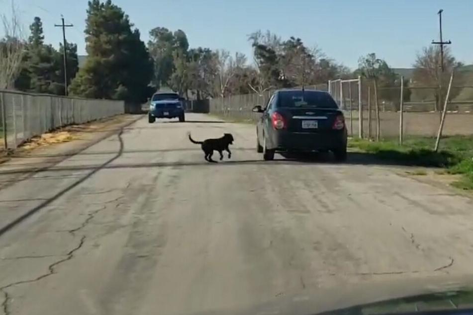 Schließlich steigt der Unbekannte in sein Auto und braust davon. Der Vierbeiner versucht verzweifelt dem Wagen zu folgen.