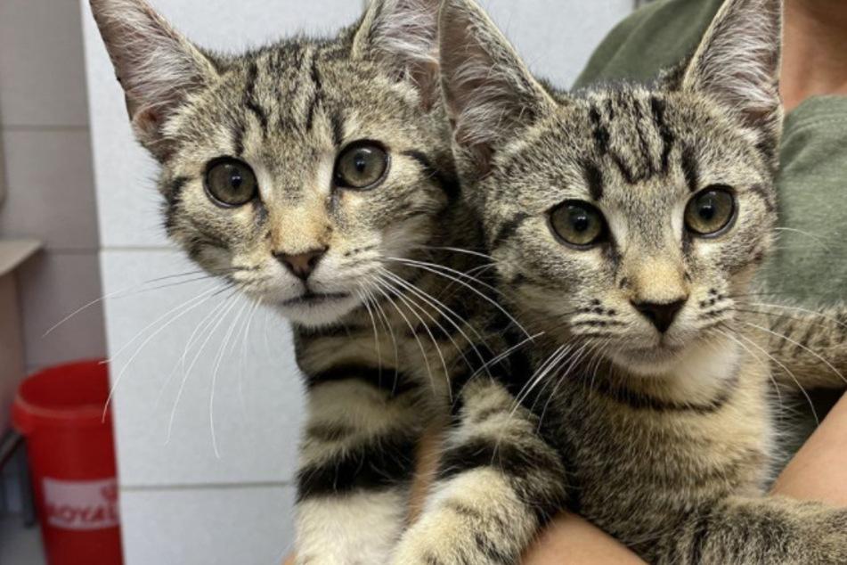 Die Katzen wurden laut Tierheim zunächst im Tierheim gekauft. Wegen einer Krankheit wurden sie dann abgegeben, hieß es.