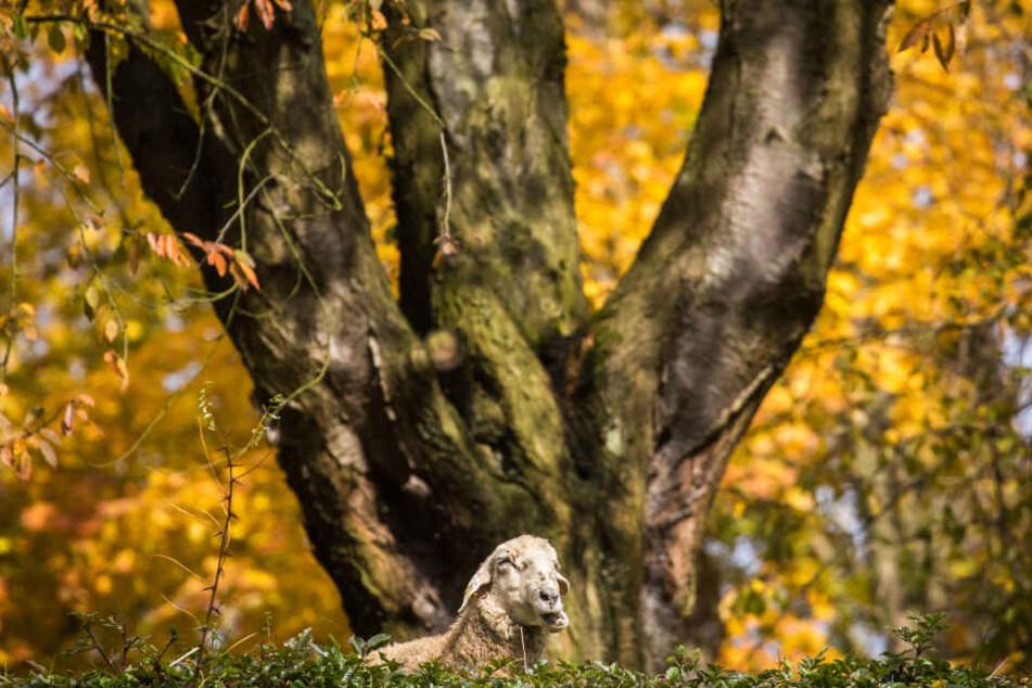 So vergnügt wie hier saßen die Schafe leider nicht in einem Wald bei Heiligenstadt. (Symbolbild)
