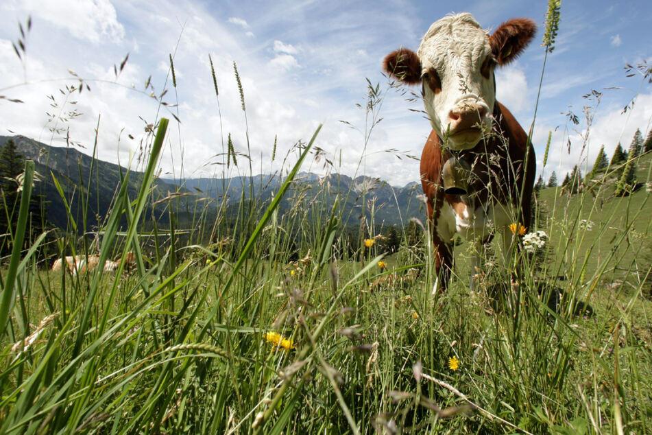 In Schwaben hielt eine entlaufene Rinderherde die Polizei auf Trab. (Symbolbild)