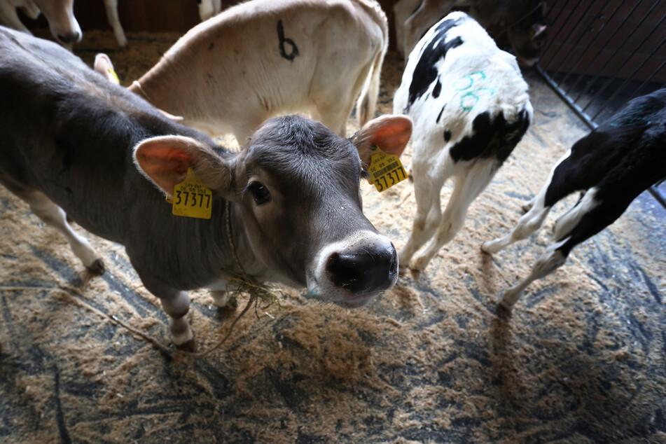 Der Corona-Ausbruch in einem großen Fleischverarbeitungsbetrieb in Nordrhein-Westfalen hat Auswirkungen bis ins Allgäu.