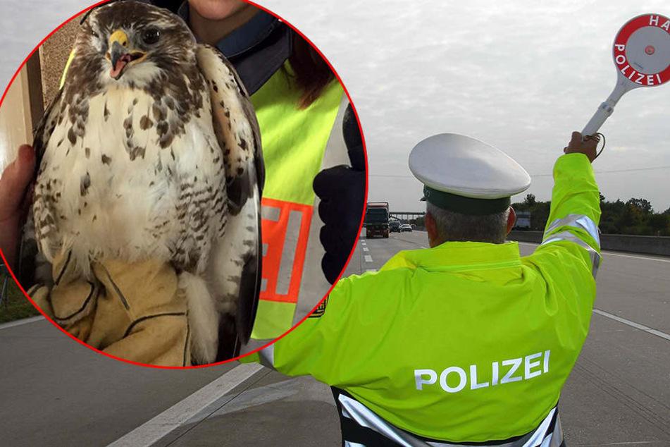 Polizei sperrt Autobahn, um verletzten Bussard zu retten