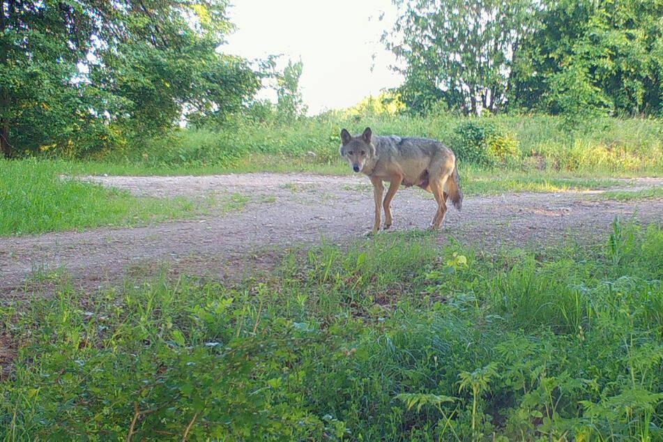 Die Ohrdrufer Wölfin wird von einer Fotofalle eingefangen.