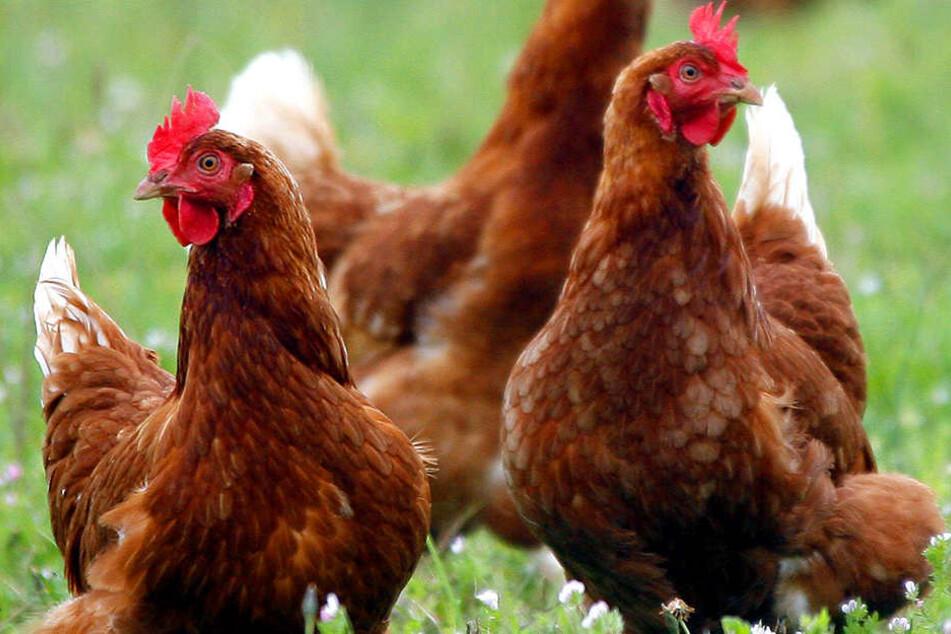 Seit November 2016 dürfen Hühner in OWL schon nicht mehr frei herumlaufen.