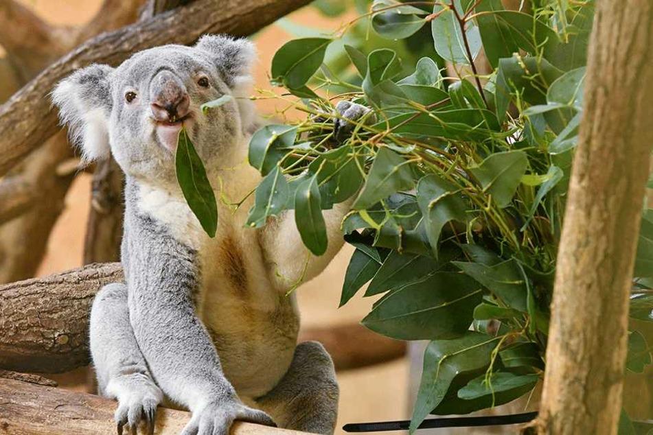 Auch die Koalas im Prof. Brandes Haus werden den Kids vorgestellt.