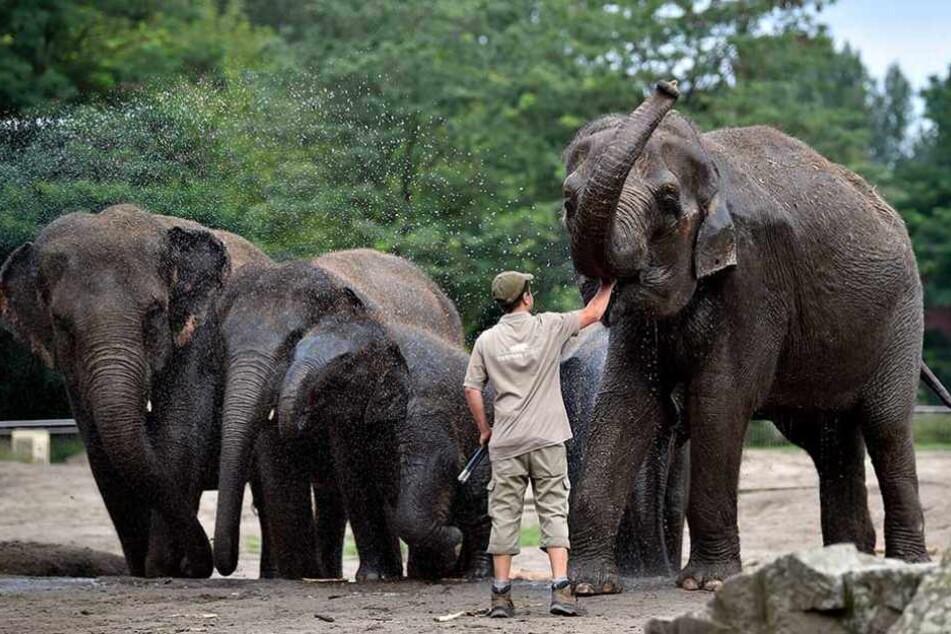 Ab 2019 soll auch für die Elefanten ein neues Gehege gebaut werden. Sie bekommen eine Savannen-Landschaft.