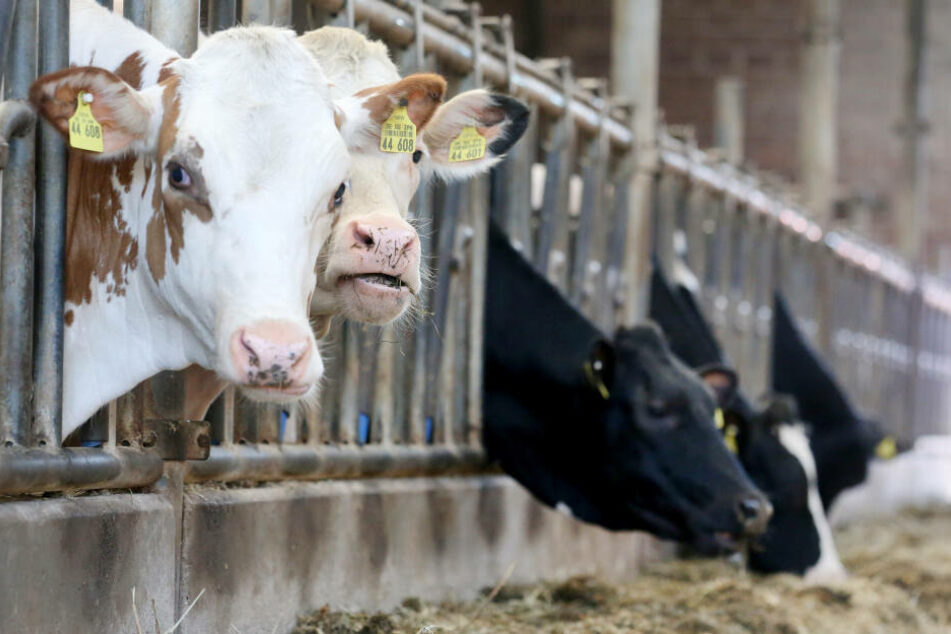 Ein weiterer Betrieb soll Kühe im Allgäu gequält haben. (Symbolbild)