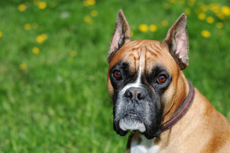 Die spitz kupierten Ohren sollen den Hund böser aussehen lassen.