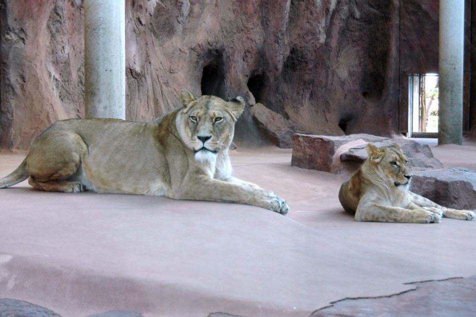 Berber-Löwin Ribat (li.) hat sich schon an ihre neue Gefährtin, Kalahari-Löwin Bastet, gewöhnt.