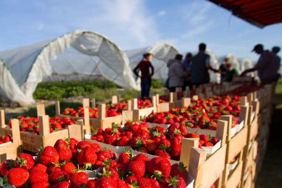 Im Vergleich zu einem normalen Jahr fiel die Erdbeerernte 2018 um 40 Prozent geringer aus. Eine Katastrophe für die Obstbauern. (Symbolbild)
