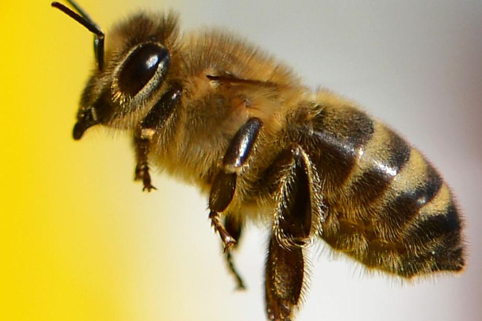 Diese Wildbiene wurde im August 2016 auf dem Lohrberg in Frankfurt fotografiert.