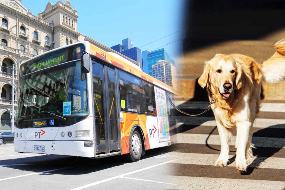 Frau aufgeschmissen! Busfahrer weigert sich, Blindenhund mitzunehmen