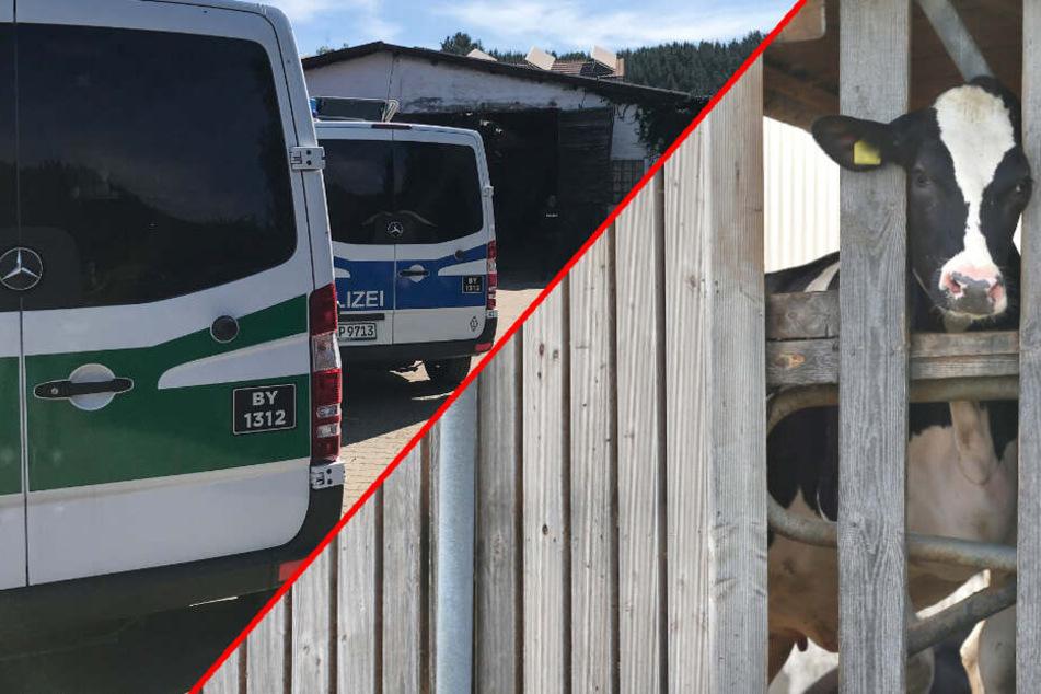 Tierschutz-Skandal: Alles, was Du zu den misshandelten Kühen im Allgäu wissen musst