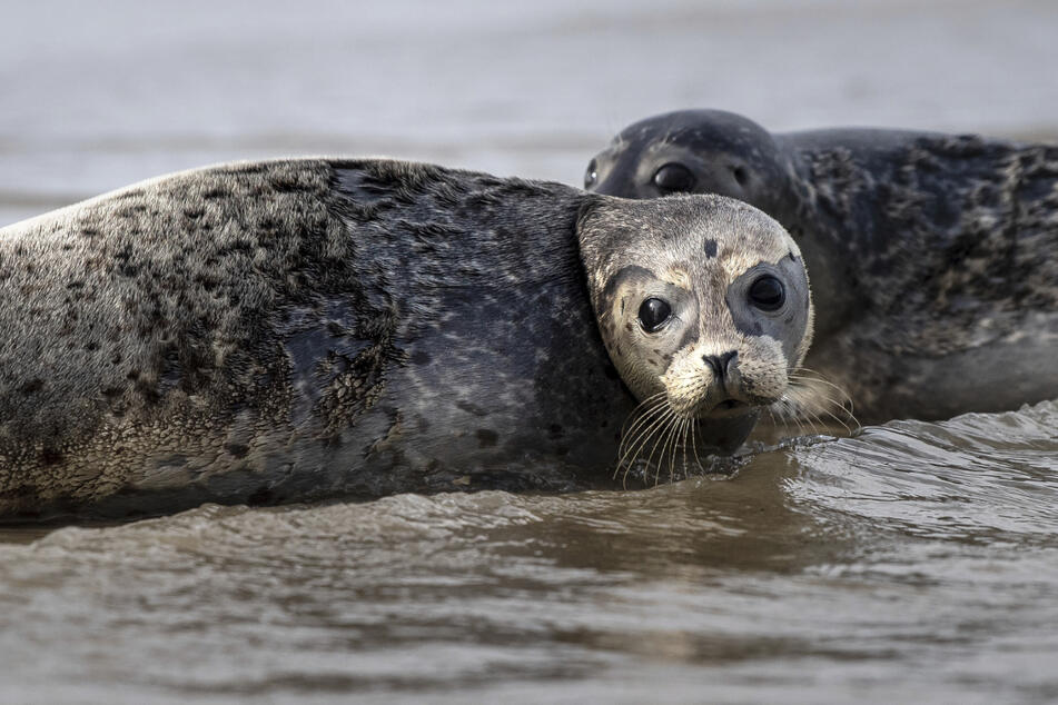 Erstmals Vogelgrippe bei Seehunden in Deutschland nachgewiesen