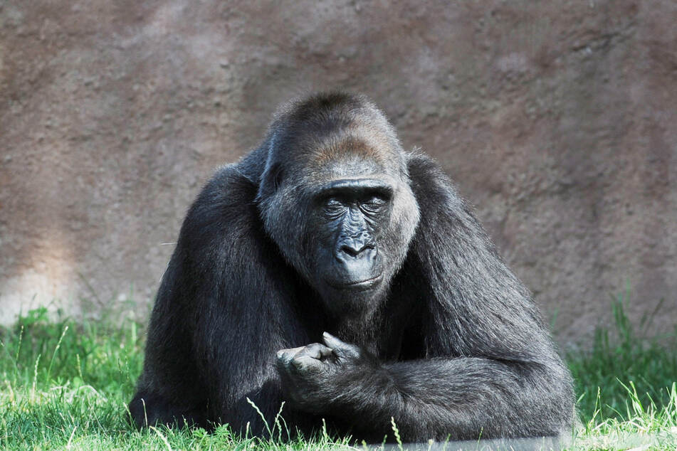 """Der Gorilla """"Richard"""" im Prager Zoo."""