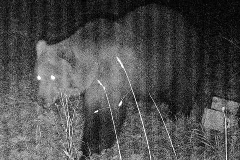Das Foto einer Wildtierkamera, das in der Nacht zum 23.10.2019 im Landkreis Garmisch-Partenkirchen aufgenommen wurde, zeigt einen Braunbären.