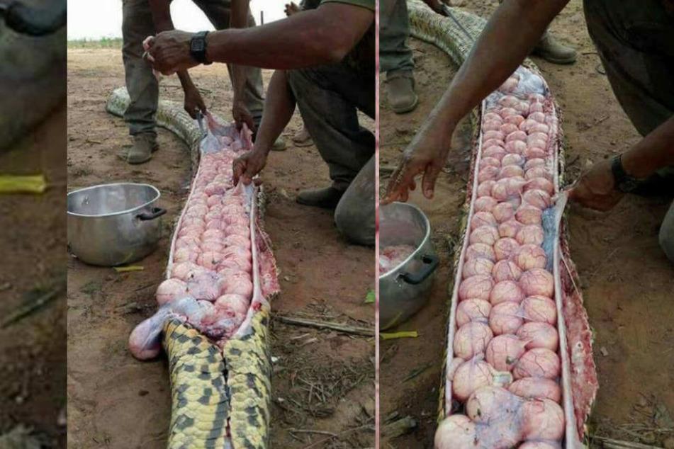 Einheimische finden in riesiger Schlange Dutzende Eier