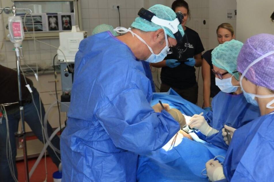 Chirurgen entfernten dem Orang Utan die Gebärmutter.