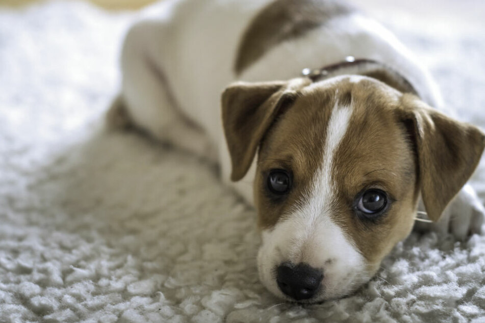 Hund verschluckt wertvollen Diamantring: Wie kommt er da nur wieder raus?