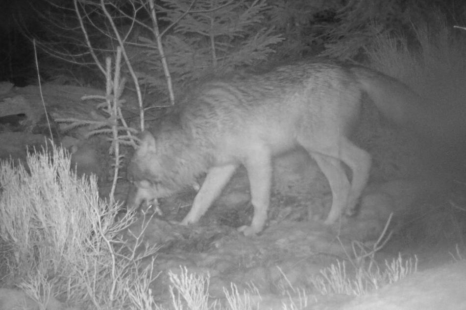 Wolfstrio im Nationalpark Bayerischer Wald unterwegs!