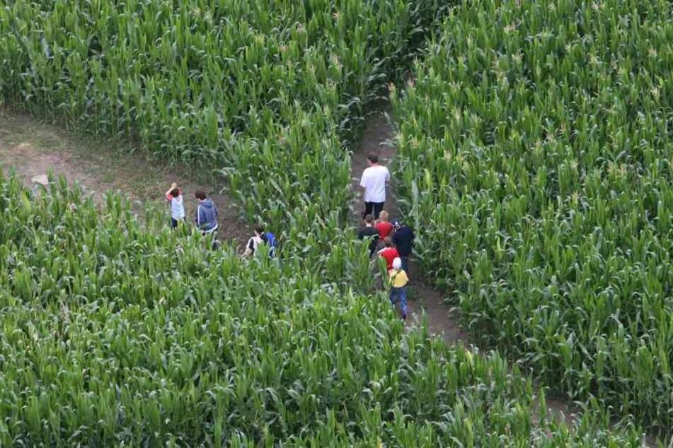 In einem Maislabyrinth kann man sich schnell verlaufen. Der Kleine hatte Glück, dass er so neben dem hohen Mais gefunden wurde.