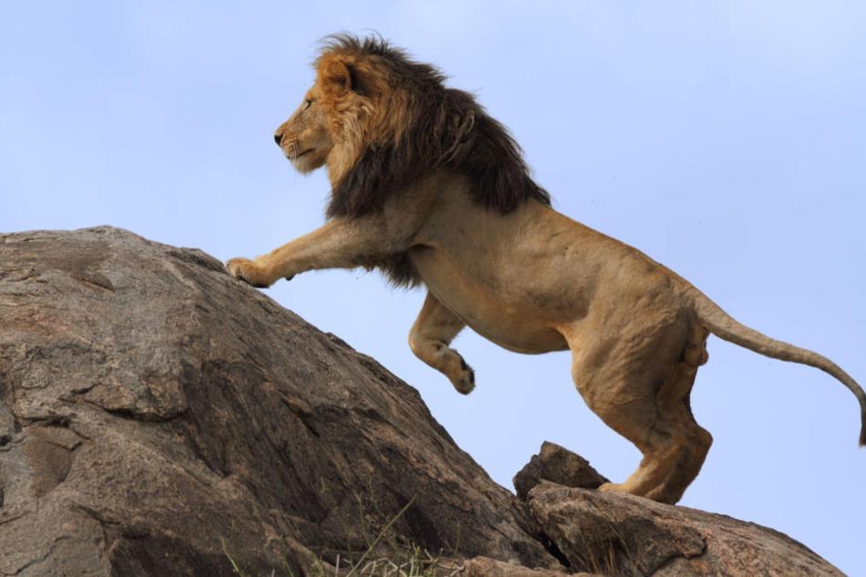 Lebensgefahr! Nahe Johannesburg sind Löwen ausgebrochen. (Synonym)