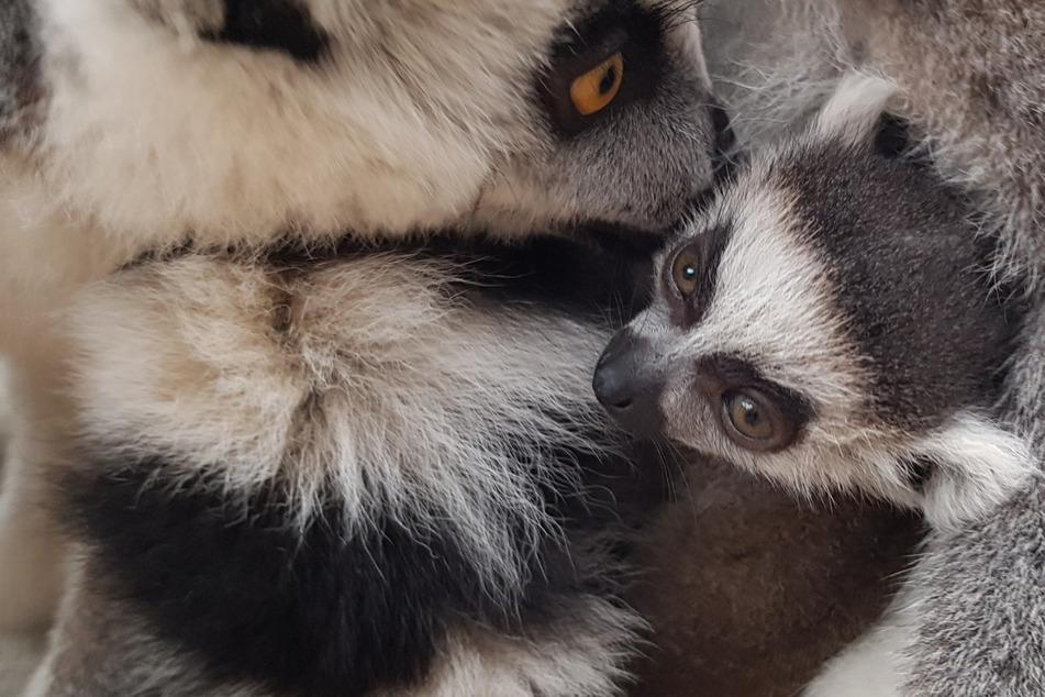 Besonderer Nachwuchs: Zoo freut sich über neues Katta-Baby