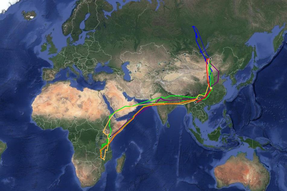 Onon legte eine der längsten Migrationsbewegungen zurück, die jemals aufgezeichnet wurden.