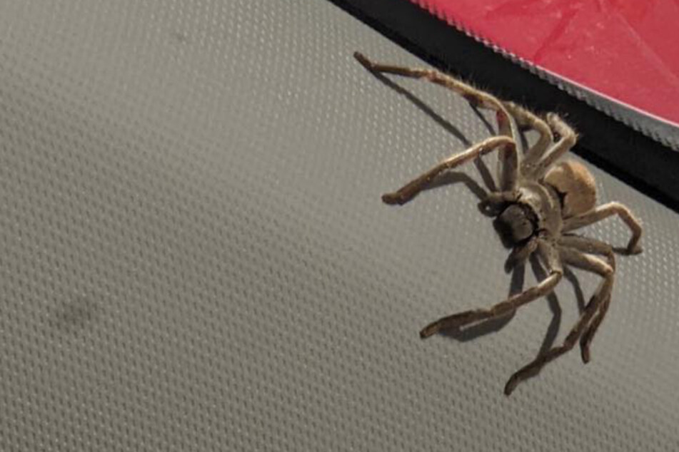 Australian woman endures nightmare spider invasion