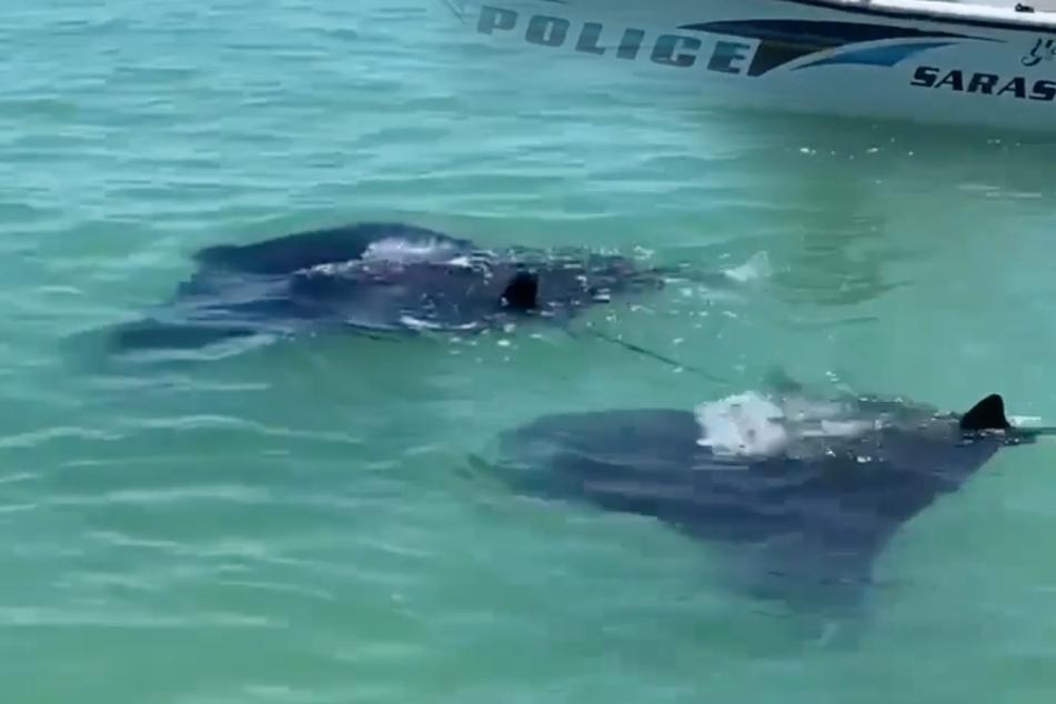Riesen-Rochen sorgt an Küste für Aufsehen