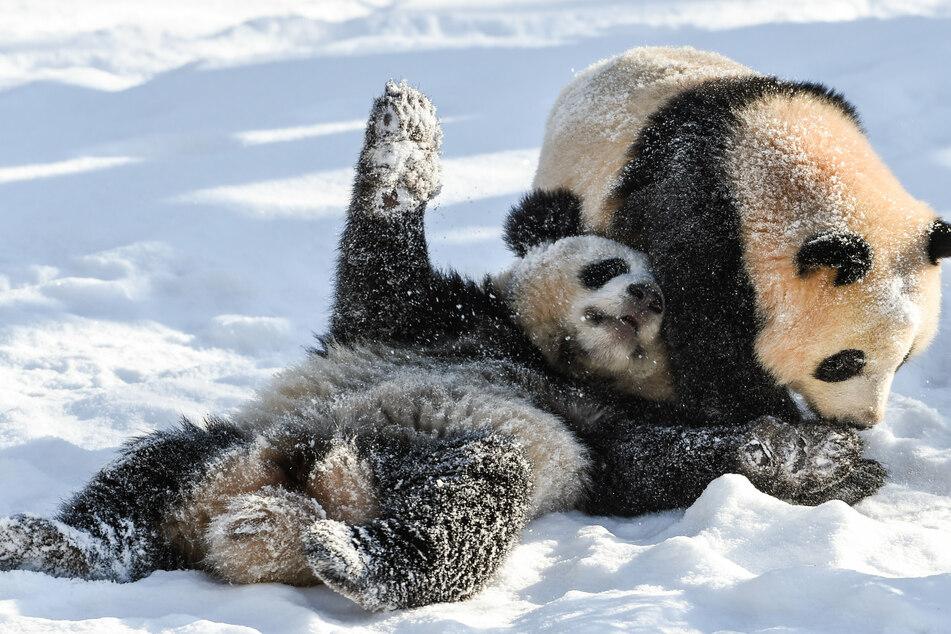 Die Pandabären-Geschwister Paule (r.) und Pit spielen im Februar 2021 in ihrem Gehege im Zoo Berlin im Schnee.