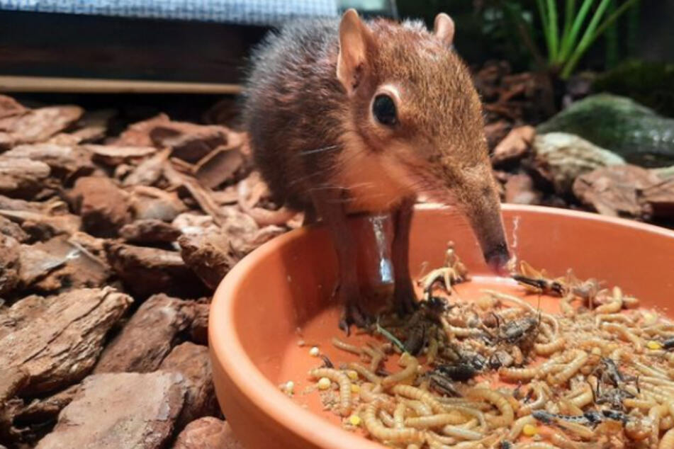 Trauer im Leipziger Zoo: Rüsselhündchen muss eingeschläfert werden