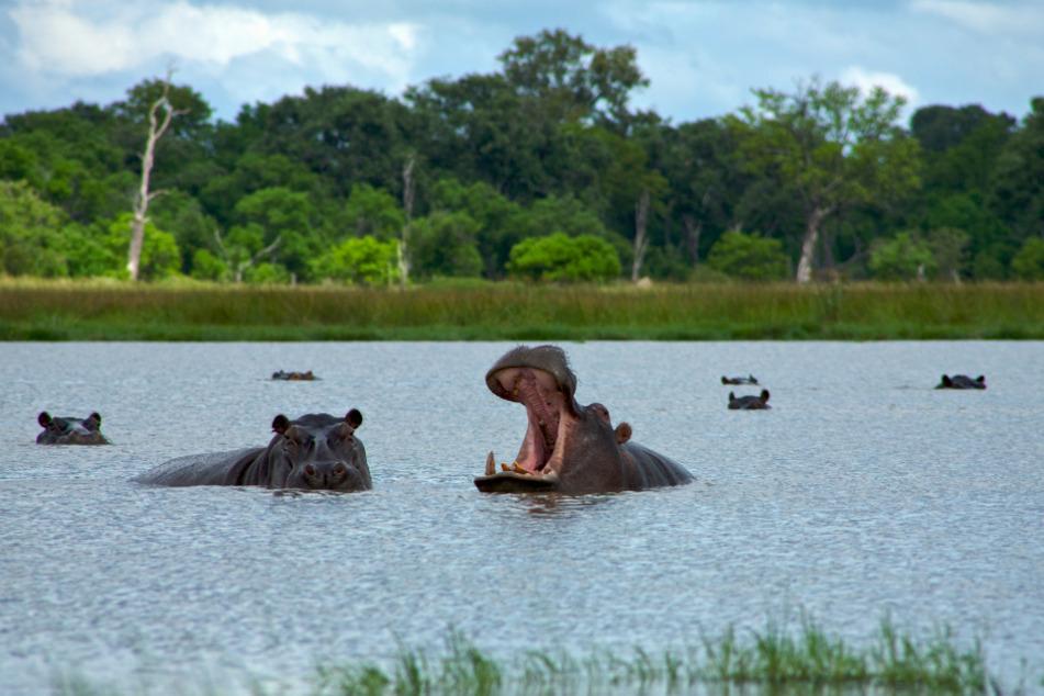 Flusspferde (auch Nilpferde genannt) sind pflanzenfressende Säugetiere, können dem Menschen aber dennoch gefährlich werden. (Symbolbild)