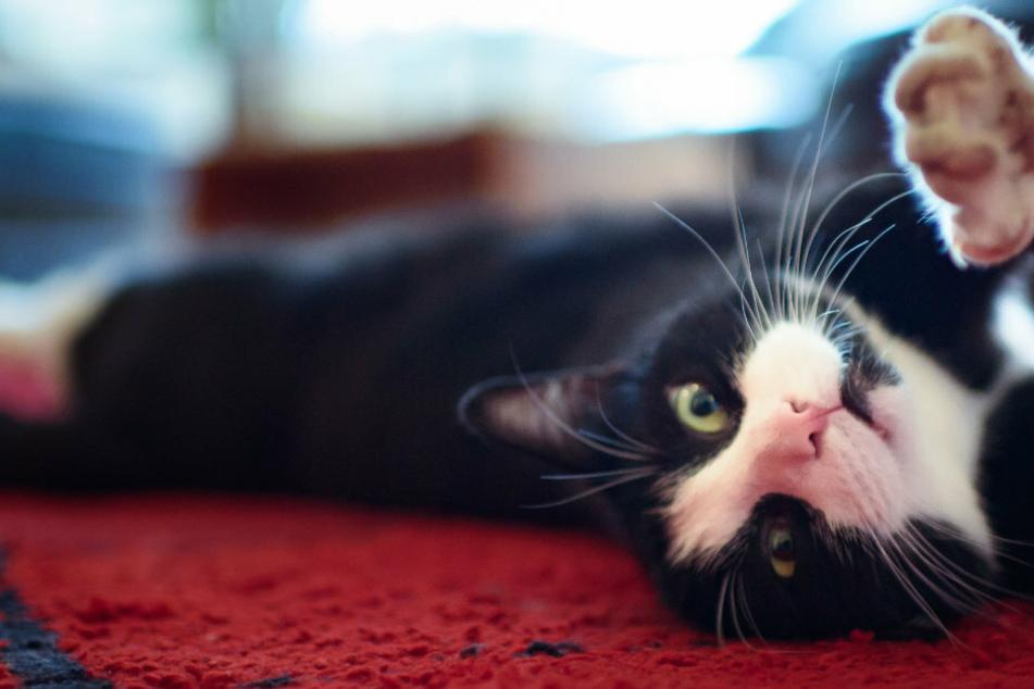 """Ehemaliger Alexa-Ingenieur kreiert App, die das """"Miau"""" der Katze übersetzt"""