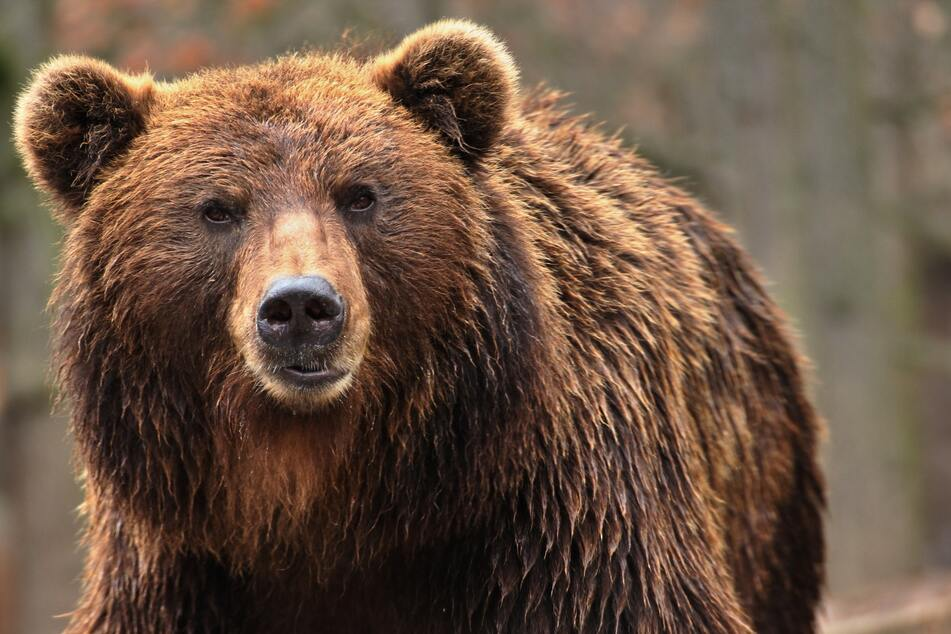 Even a brown bear had to suffer from the modernisation (symbolic picture).