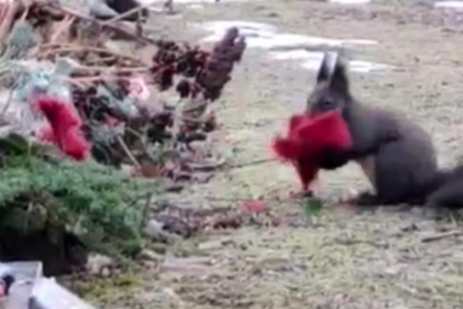 Erwischt! Ein Eichhörnchen machte sich an einem Grab auf dem Chemnitzer Friedhof zu schaffen.