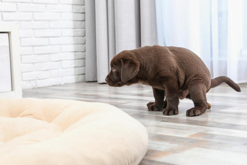 Gerade junge Tiere machen anfangs häufig drinnen ihr Häufchen – Tierkot sollte man direkt entsorgen und die Stelle reinigen und desinfizieren.
