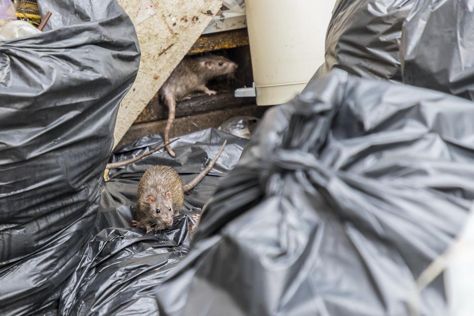 In gelagertem Müll und Schutt können Nager perfekte Lebensbedingungen finden.