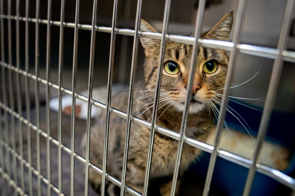 Eine Katze sitzt in ihrem Käfig im Tierheim. (Symbolbild)