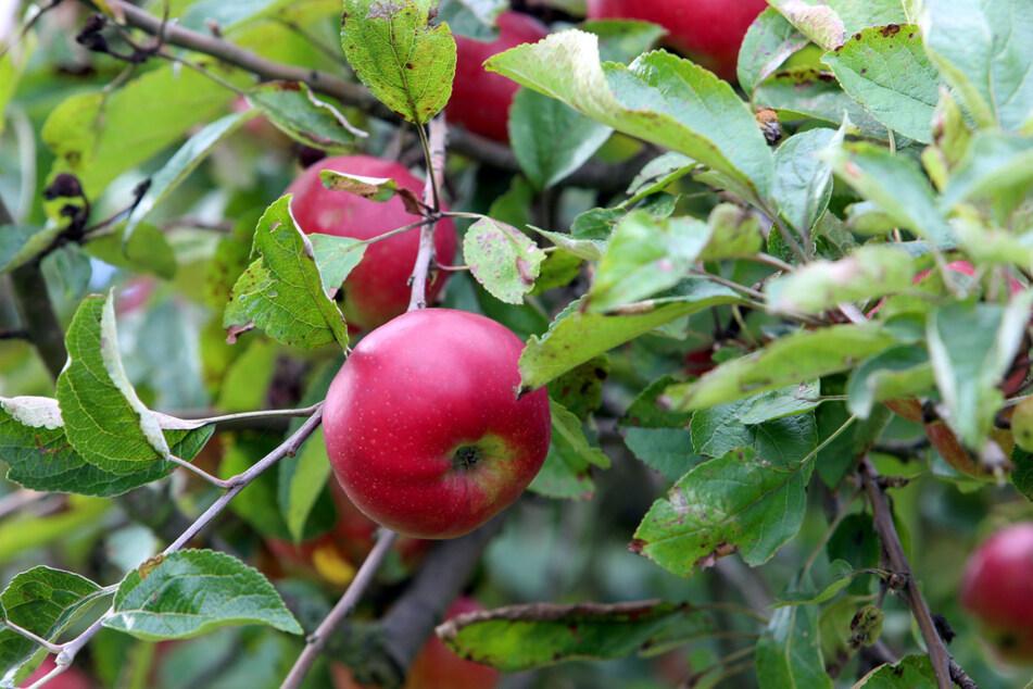 Beim Streuobsttag könnt Ihr Euch frischen Saft aus Früchten pressen lassen.
