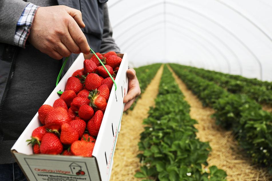 Ein Obstbauer hält einen Korb Erdbeeren in der Hand. Sogenannte Pflanztunnel schützen die Früchte vor Wind und Wetter. Hier fiel der Ertrag zufriedenstellend aus.